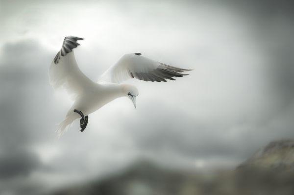 Flight of the Gannet
